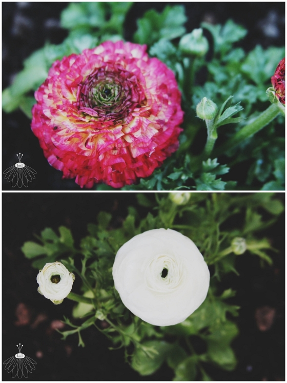 Ranunculus Flowers - Berlin / Ocean City, MD - Little Miss Lovely Florist