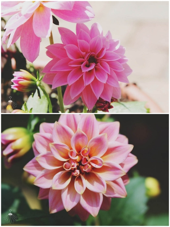 Little Miss Lovely Dahlias
