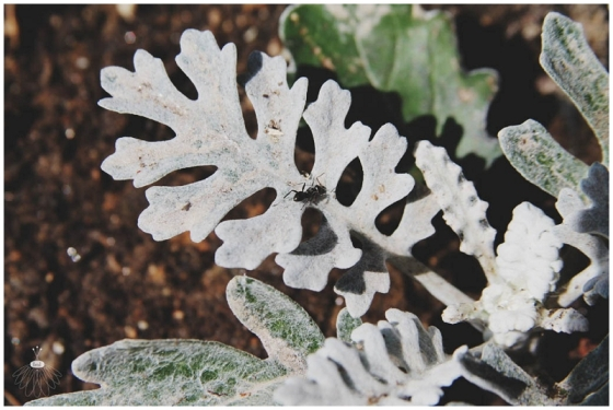 Little Miss Lovely Dusty Miller Ant