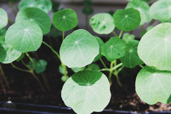 Little Miss Lovely Seedlings 4.17 (2)