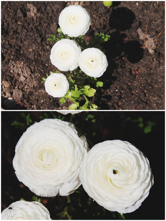 Little Miss Lovely White Ranunculus