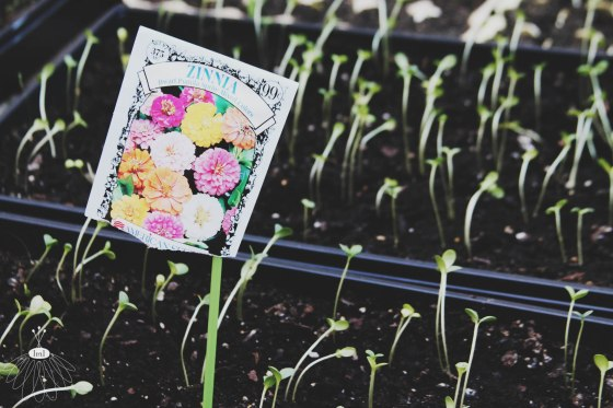 Zinnia Sprouts - Little Miss Lovely