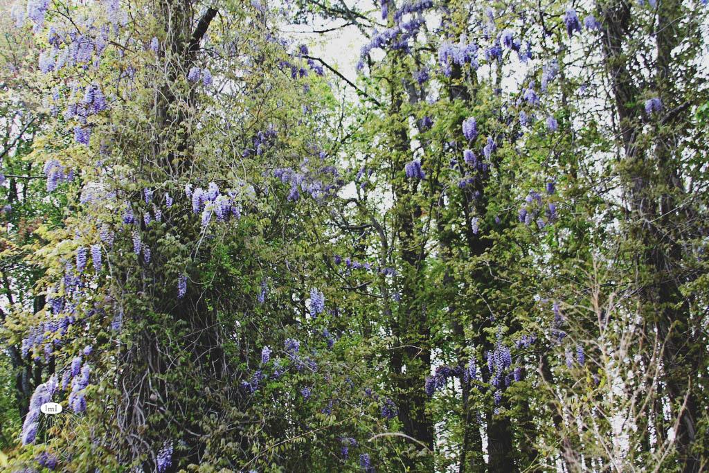 Wisteria Plants - Parsonsburg PA