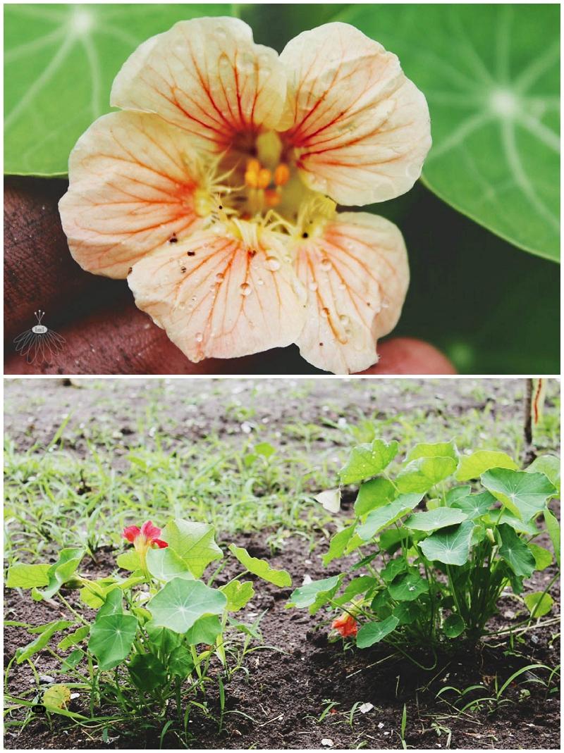 Nasturtium_Flower_Little_Miss_Lovely_Berlin_MD (2)