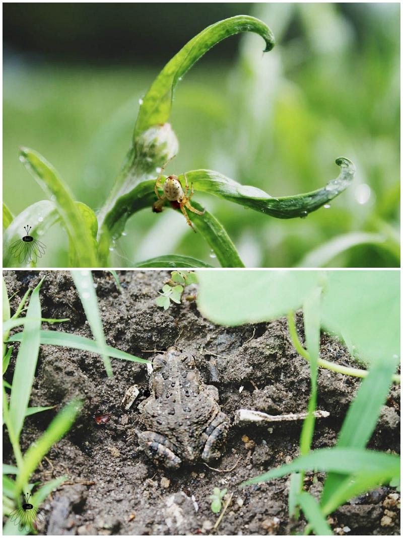 Organic Farm Spider Toad