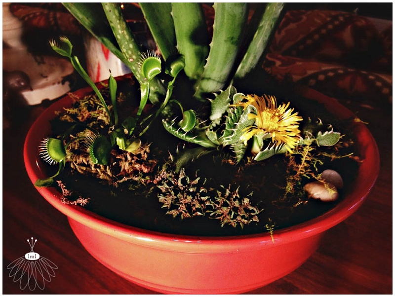 carnivor dish garden planter - little miss lovely floral design - berlin ocean pines md