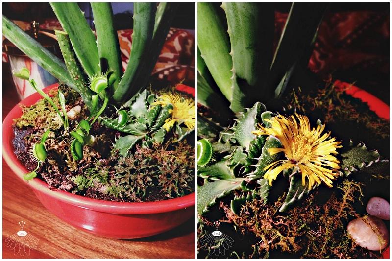 carnivorus dish garden - succulants aloe vera tigers jar - little miss lovely florist