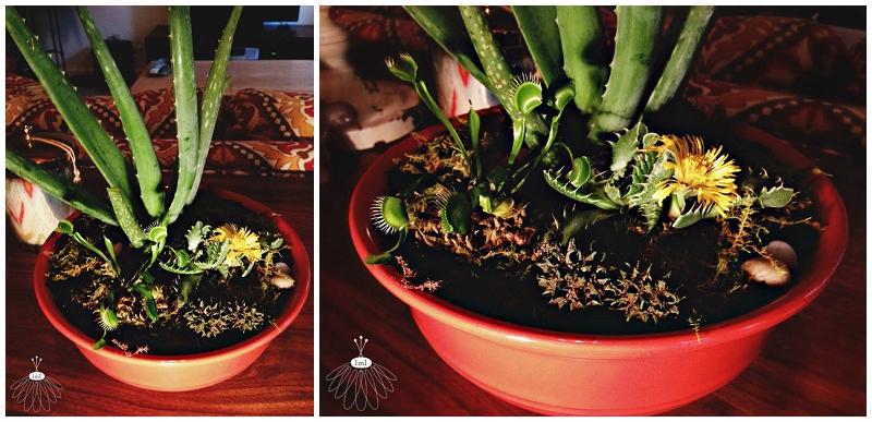 carnivorus dish garden - venus fly trap - little miss lovely florist berlin md