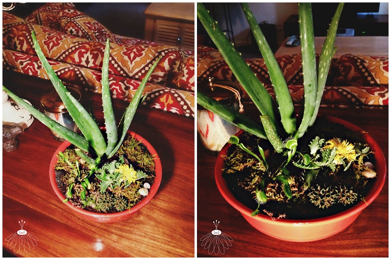 dish garden - aloe vera tigers jaw venus fly trap - succulants little miss lovely