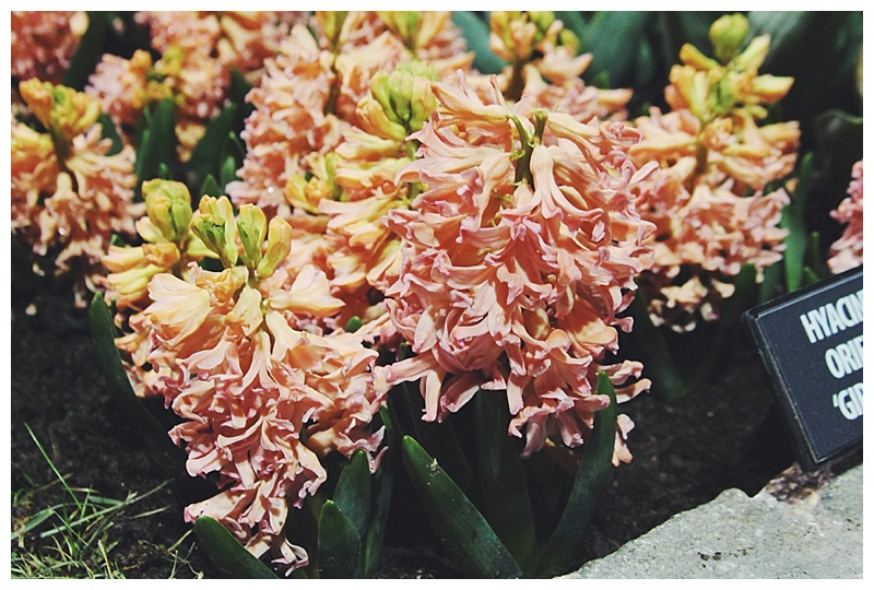 Little Miss Lovely Philadelphia Flower Show - peach hyacinth